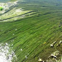 Alga verde de rio o limo (Cladophora spp) y (Spirogyra spp)