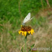Mariposa (clasificación pendiente) sobre amargosa (Helenium mexicanum)