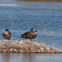 Cerceta aliazul o pato media luna o pato de alas azules (Anas discors), la hembra a la izquierda y el macho a la derecha.