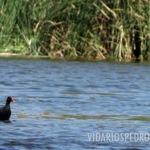 Gallineta común o polla de agua, gallareta de pico rojo o pollona negra (Gallinula galeata)