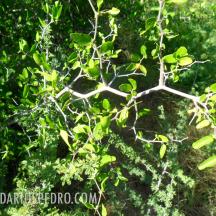 Granjero (Celtis pallida)