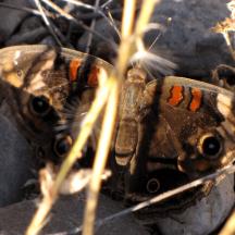 Mariposa común del castaño de las Indias (common buckeye) (Junonia coenia)