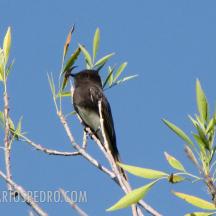 Mosquero negro o viudita de río (Sayornis nigricans)