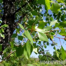 Álamo (Populus sp.)