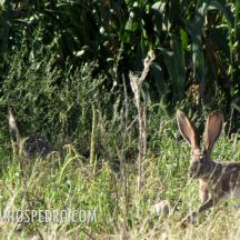 Liebre cola negra o liebre de California (Lepus californicus)