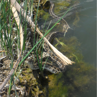 Serpiente de liga mexicana del norte (Thamnophis eques megalops)