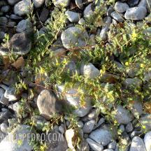 Torito o abrojo (Tribulus terrestris)