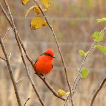 Mosquero cardenal (Pyrocephalus obscurus)