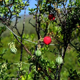 Wereke (Ibervillea sp)