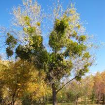 Muérdago blanco (Viscum album) sobre álamo (Populus sp)