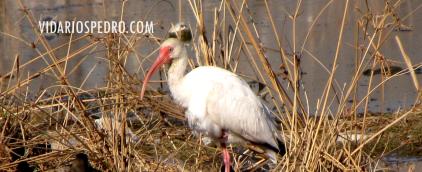 Figura 3.- Ibis blanco (Eudocimus albus) en el río San Pedro, Meoqui, Chihuahua, México.