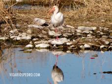 Figura 2.- Ibis blanco (Eudocimus albus) en el río San Pedro, Meoqui, Chihuahua, México.